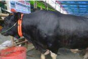 গাবতলীতে নজর কাড়ছে যশোরের 'বাংলার বস'
